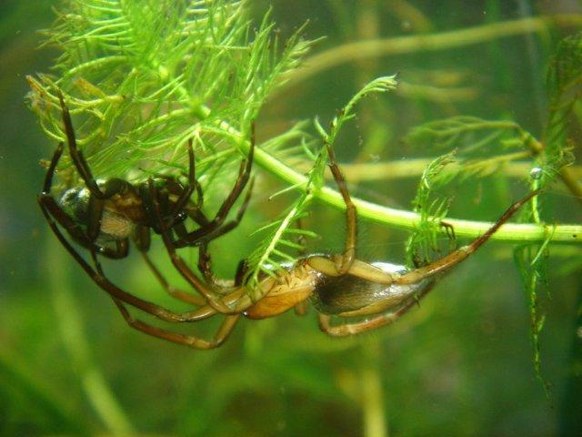 Водяной паук (Argyroneta)