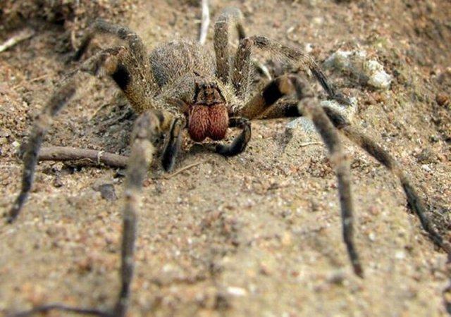 Бразильский странствующий паук (Phoneutria nigriventer)