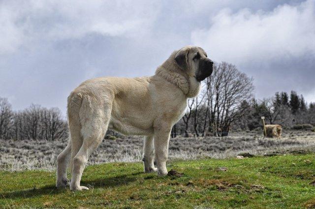 Самые большие породы собак в мире